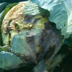 Почерневший лист капусты