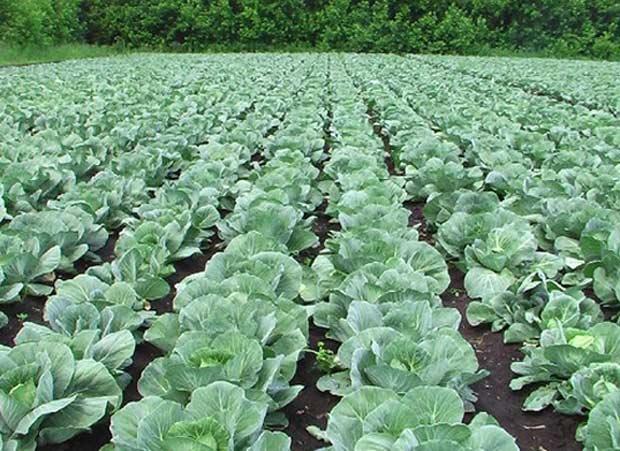 Посадки капусты на поле
