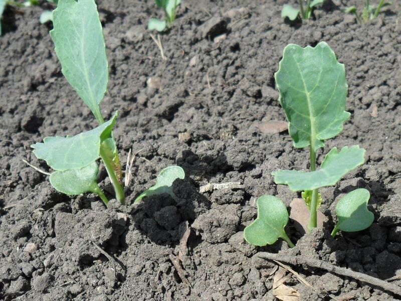 Проросшие семена капусты