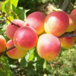 Сорт абрикоса Краснощёкий