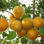 Сорт абрикоса Товарищ