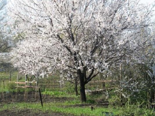 Деревоабрикоса сорта Ульянихинский