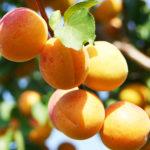 Плоды сорта абрикоса Ульянихинский