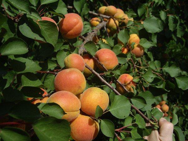 Сорт абрикоса Ульянихинский