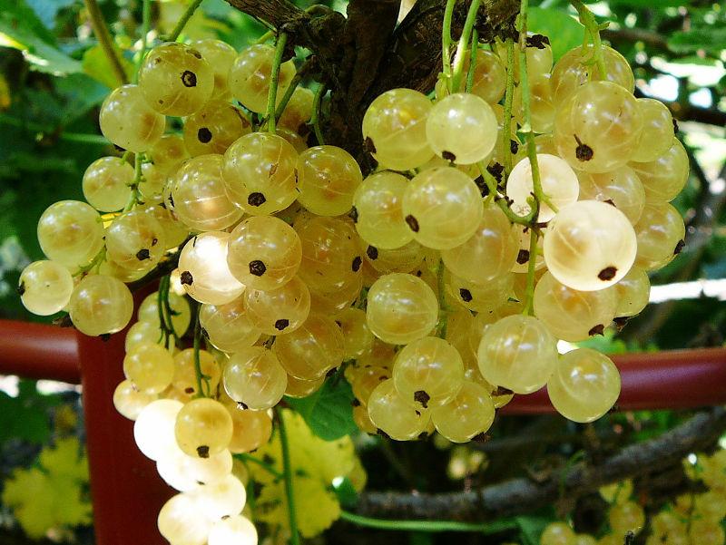 Ягоды белоплодной смородины Смольяниновская