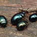 Жучки листоеда с блестящими чёрными крыльями