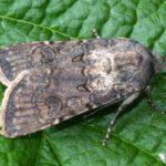 Бабочка озимой совки на листе