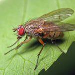 Капустная муха на листе