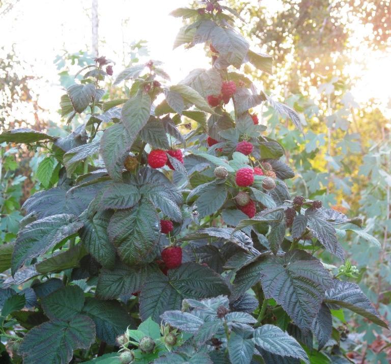 Куст малины в ягодах