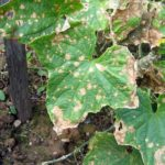 Листья огурца в сухих пятнах