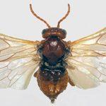 Бабочка пилильщика
