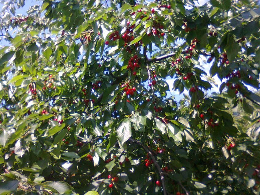 Неспелые ягоды