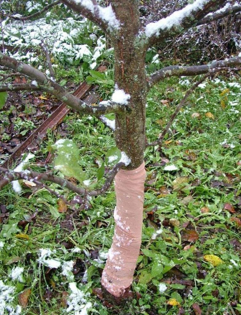 Обвязанный ствол вишни