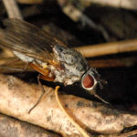 Стеблевая малинная муха