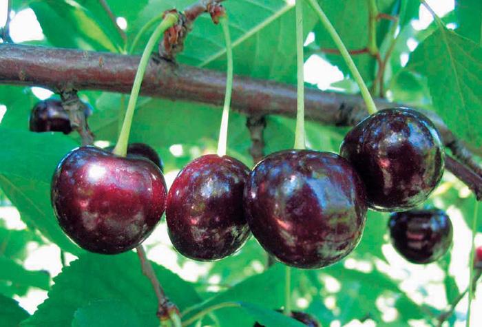 Тёмные ягоды вишни