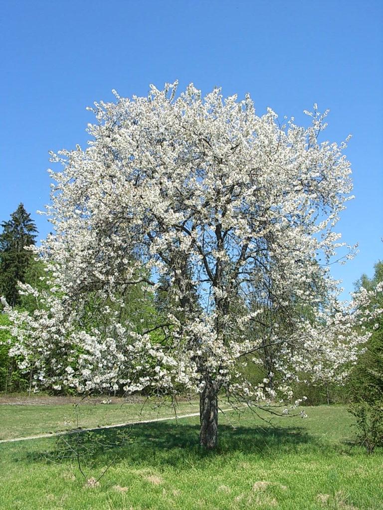 Взрослое дерево черешни сорта Чермашная