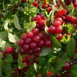 Спелые плодывойлочной вишни