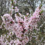 Цветы войлочной вишни