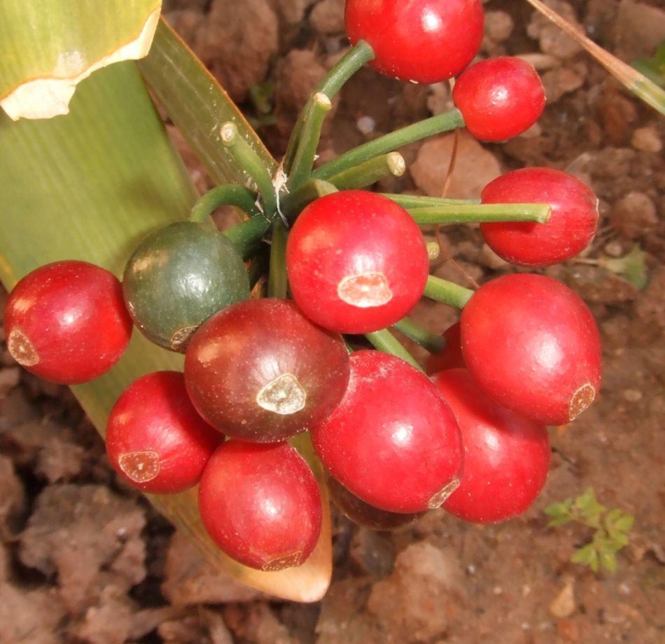плоды кливии