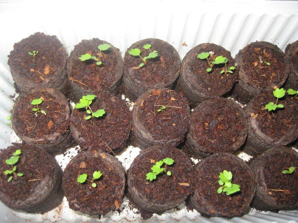 Сеянцы садовой земляники