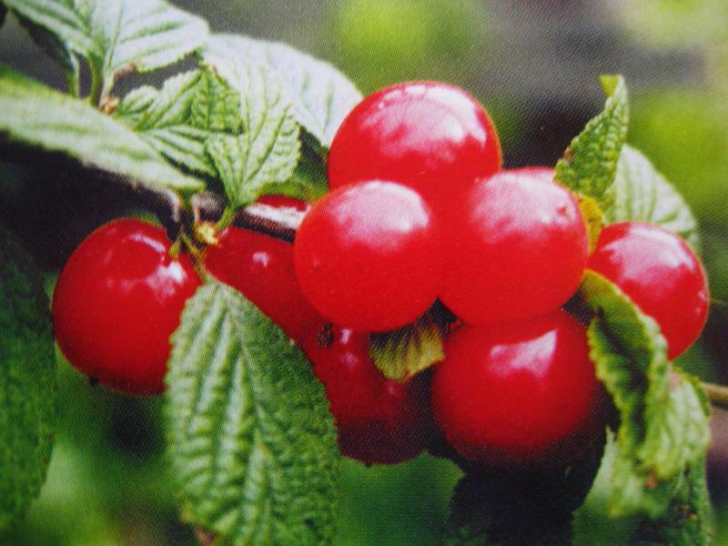 Войлочная вишня плоды
