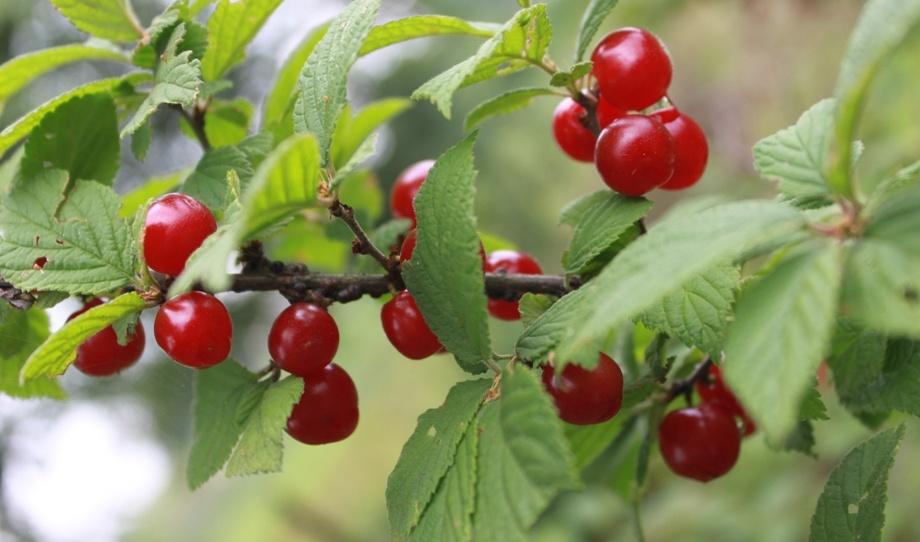 Плоды войлочной вишни сорта Утро