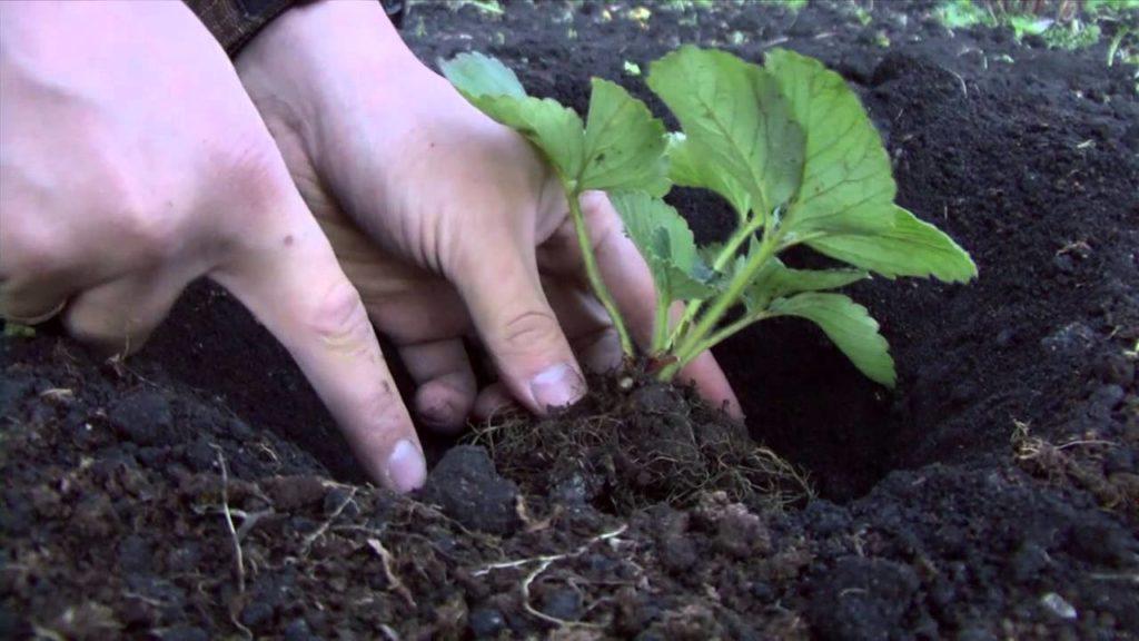 Высадка в грунт садовой земляники