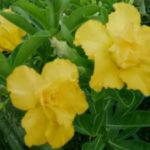 Адениум Жёлтая любовь