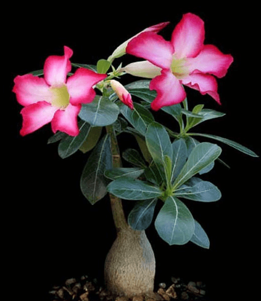 Цветущий адениум