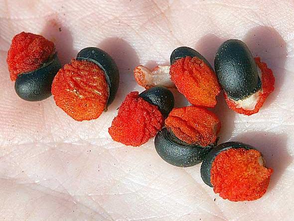 семена клеродендрума