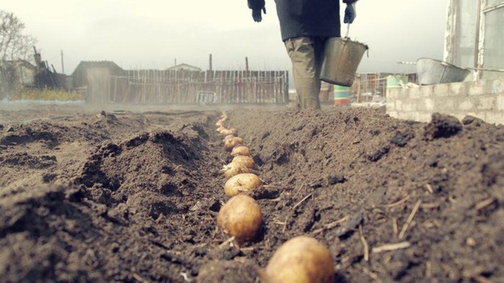 Клубни картошки на огороде