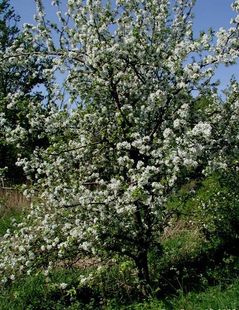 Дерево яблони сорта Айдаред