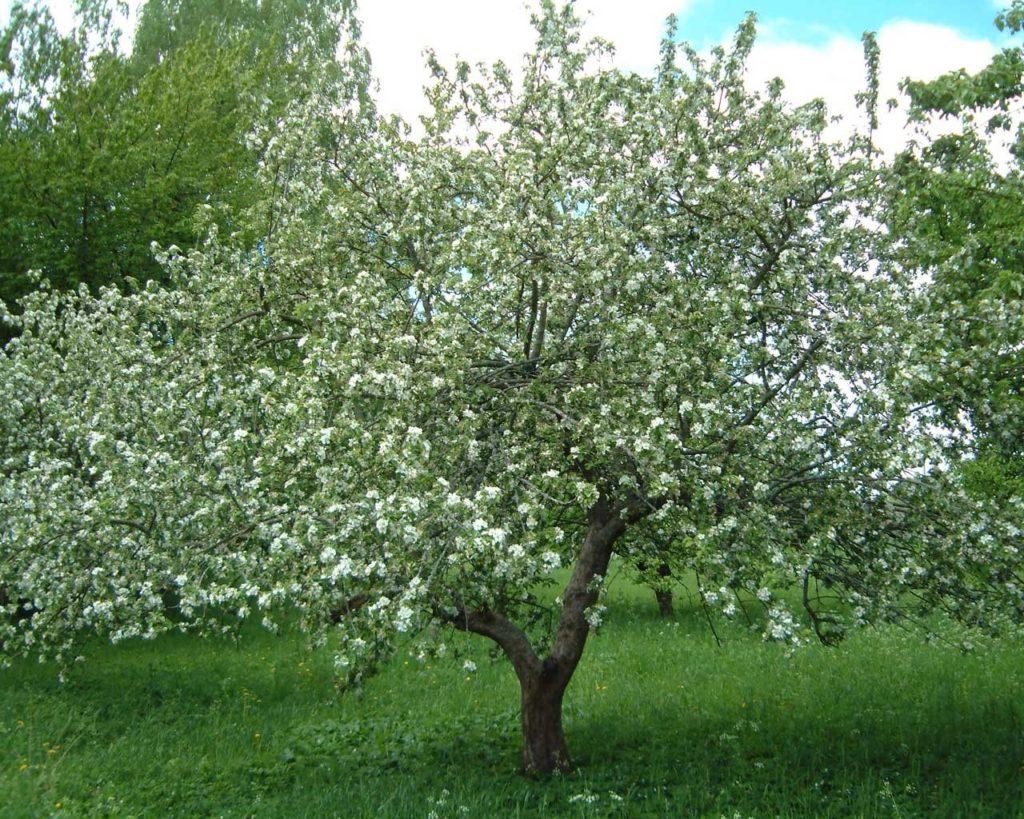 Дерево яблони сорта Мантет