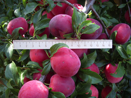 Крупные плоды сливы