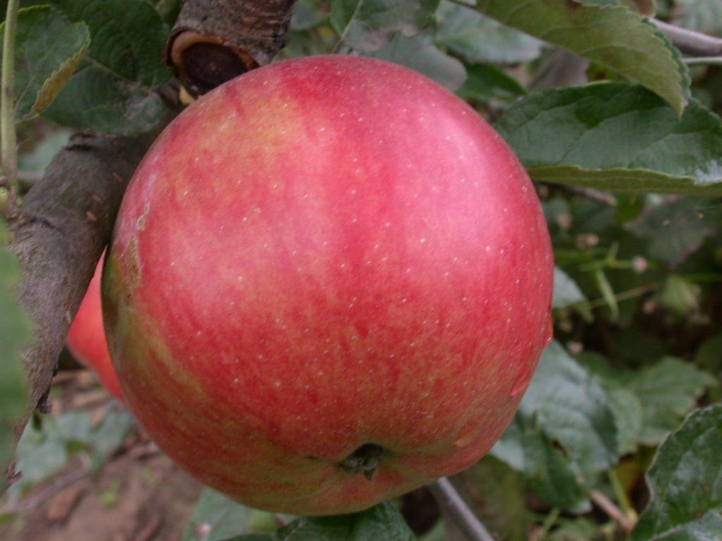 Плод яблони сорта Айдаред