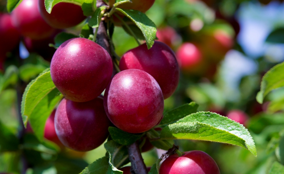 Плоды сливы под солнцем
