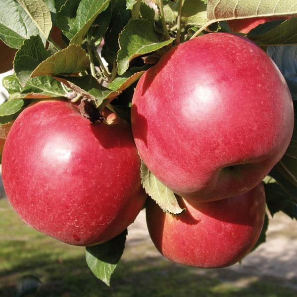 Плоды яблони сорта Айдаред