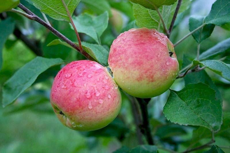 Плоды яблони сорта Мантет