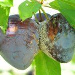 Проявление клястероспориоза на плодах