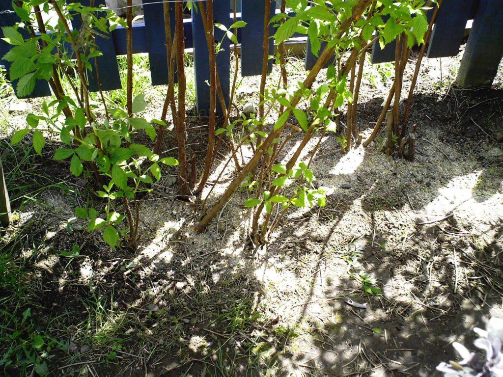 Удобрения под кустами малины