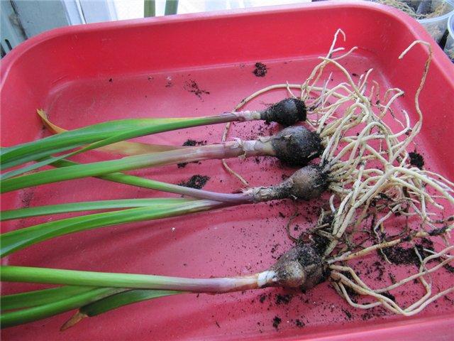 Укоренение дочерних луковиц