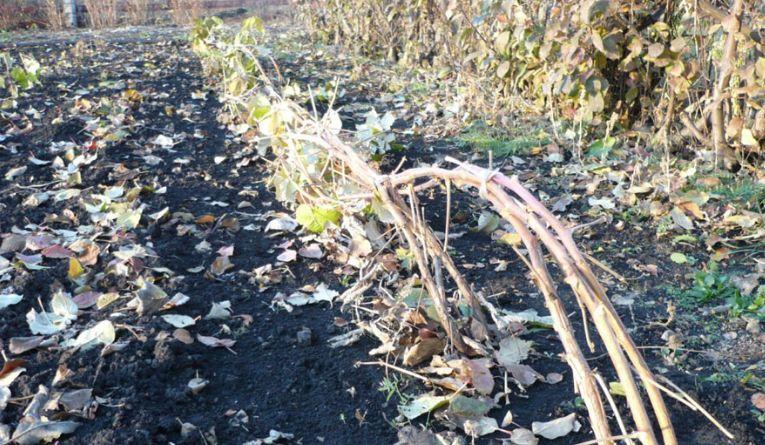 Пригнутые стебли малины