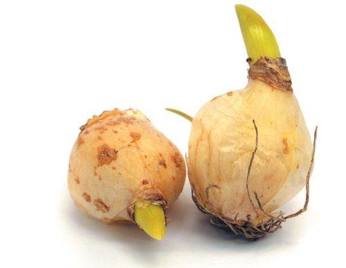 Дочерние луковицы гименокаллиса