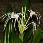 Гименокаллис карибский