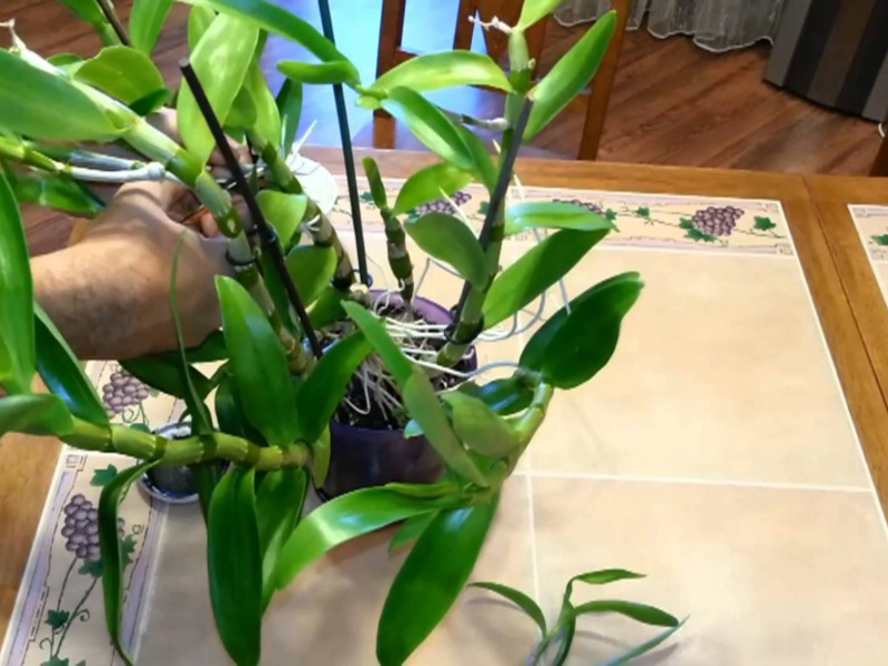 Деление куста орхидеи