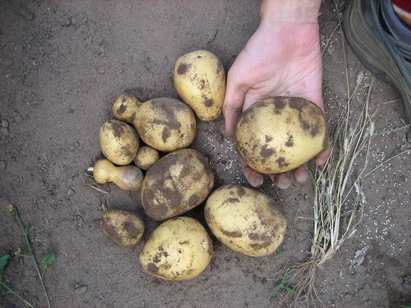 Клубни картофеля сорта Скарб