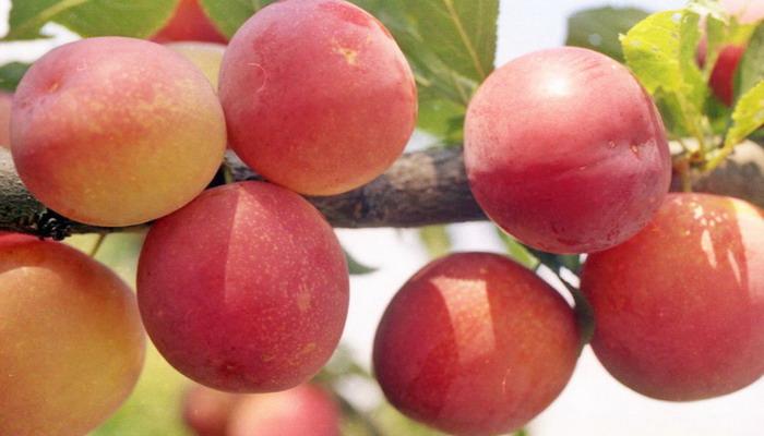 Плоды сливы Персиковой