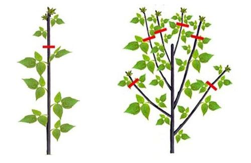 Схема двойной обрезки малины