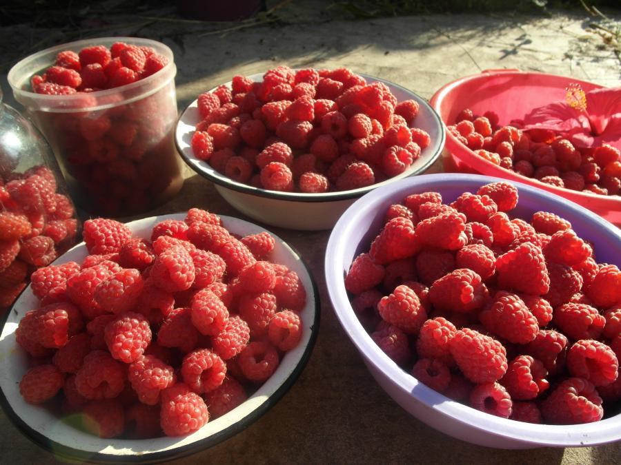 Урожай ягод малины Феномен