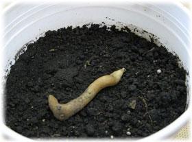 Высадка клубня
